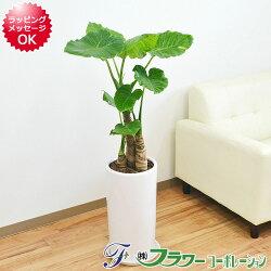 【送料無料】観葉植物 クワズイモ 円柱形陶器鉢 8号