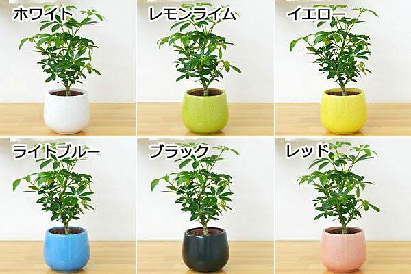 フラワーコーポレーション『ミニ観葉植物ホンコンカポック(シェフレラ)陶器鉢付き』