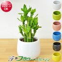 【送料無料】ミニ観葉植物 ミリオンバンブー(万年竹)陶器鉢付き(ハイドロカルチャー)