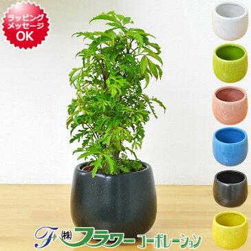 【送料無料】ミニ観葉植物 ポリシャス陶器鉢付き(ハイドロカルチャー)