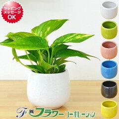 ミニ観葉植物 ポトス陶器鉢付き(ハイドロカルチャー)
