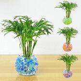 ミニ観葉植物 テーブルヤシ スフィアガラス ゼリー植え