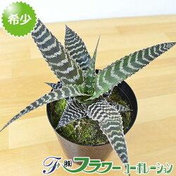 【送料無料】観葉植物 オルフィツム・グルケニー 3号ポット