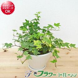 【送料無料】観葉植物 アイビー3種寄せ植え 陶器鉢