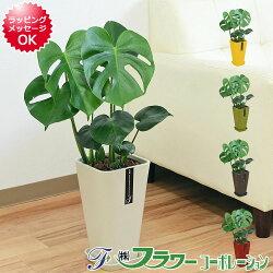 【送料無料】観葉植物 モンステラ カラースクエアポット 6号