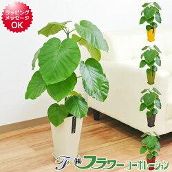 【送料無料】観葉植物 ウンベラータ カラースクエアポット 6号