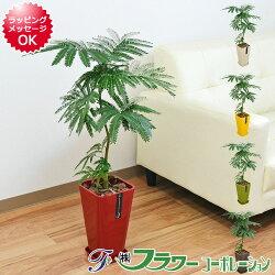 【送料無料】観葉植物 エバーフレッシュ カラースクエアポット 6号