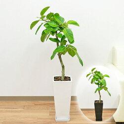 フィカス・アルテシーマ 陶器鉢植え 7号