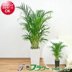 アレカヤシ ロングスクエア陶器鉢植え 8号