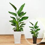 観葉植物ストレリチア・オーガスタスクエア陶器鉢植え8号サイズ