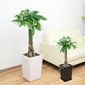 大きめのパキラ陶器鉢植え。存在感バツグンです!観葉植物 編み込みパキラ スクエア陶器鉢植え ...