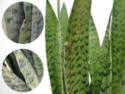 観葉植物サンスベリア・ゼラニカロングスクエア陶器鉢植えBIGサイズ葉のキズ拡大