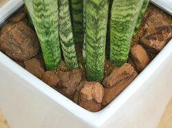 観葉植物サンスベリア・ゼラニカロングスクエア陶器鉢植えBIGサイズ土の表面の拡大