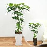 観葉植物エバーフレッシュ(ネムノキ)スクエア陶器鉢植え