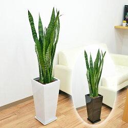 観葉植物サンスベリア・ゼラニカロングスクエア陶器鉢植えBIGサイズ