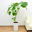 テレビや雑誌でもよくみかけるおしゃれな観葉植物です観葉植物 フィカス・ウンベラータ(ゴム) ...