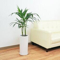 ケンチャヤシ 円柱形陶器鉢植え 7号