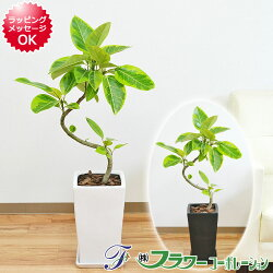 【送料無料】観葉植物 フィカス・アルテシーマ 曲がり仕立て スクエア陶器鉢植え 7号