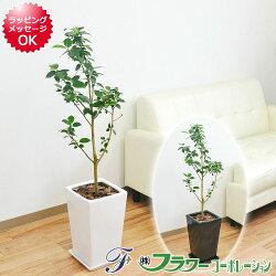 【送料無料】観葉植物 フランスゴム スクエア陶器鉢植え 7号