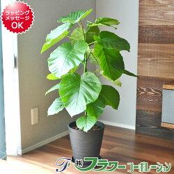 【送料無料】観葉植物 フィカス・ウンベラータ ツイスト仕立て