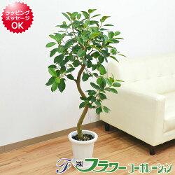 【送料無料】観葉植物 フランスゴム らせん曲がり仕立て 7号