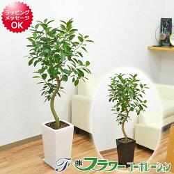 【送料無料】観葉植物 フランスゴム らせん曲がり仕立て 陶器鉢 7号