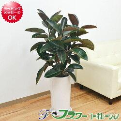 【送料無料】観葉植物 黒ゴムの木 陶器鉢 8号