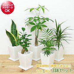 【送料無料】観葉植物 3号スクエア陶器鉢植え 3鉢セット