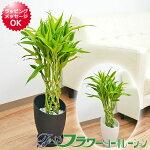 観葉植物萬年竹(ミリオンバンブー)デザインプラスチック鉢