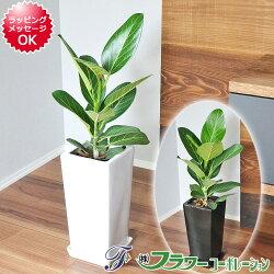 【送料無料】観葉植物 フィカス・ベンガレンシス 陶器鉢植え