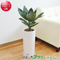【送料無料】観葉植物 テネラ 円柱形陶器鉢植え
