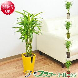 【送料無料】観葉植物 ミリオンバンブー カラースクエアポット 6号