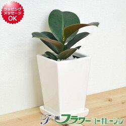 【送料無料】観葉植物 フィカス・ソフィア スクエア陶器鉢