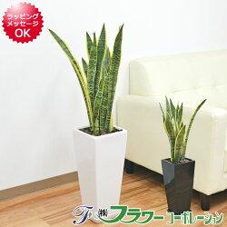 【送料無料】観葉植物 サンスベリア 7号陶器鉢