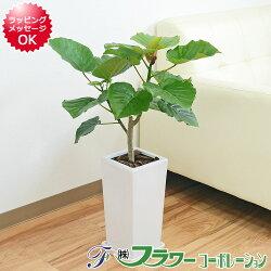 【送料無料】観葉植物 ウンベラータ 6号陶器鉢