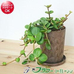 【送料無料】観葉植物 ペペロミア・ホープ エコ鉢