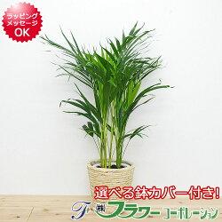 【送料無料】観葉植物 アレカヤシ 鉢カバー付き 6号