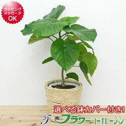 【送料無料】観葉植物 フィカス・ウンベラータ 鉢カバー付き 6号