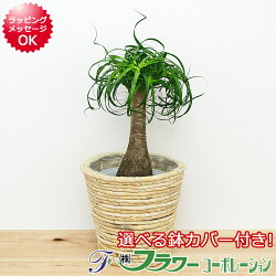 【送料無料】観葉植物 ポニーテール 6号鉢カバー付き