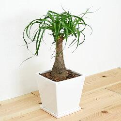 【送料無料】観葉植物 ポニーテール 6号スクエア陶器鉢植え