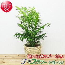 【送料無料】観葉植物 テーブルヤシ 6号 鉢カバー