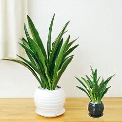 【送料無料】観葉植物 万年青 都城 ボール形陶器鉢植え