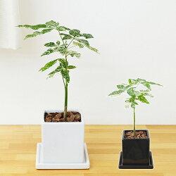【送料無料】観葉植物 斑入りパキラ 実生 陶器鉢植え