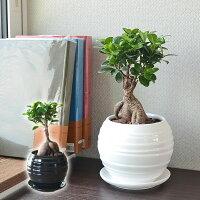 観葉植物 ガジュマル 多幸の木 おしゃれ お祝い ボール形陶器鉢 送料無料
