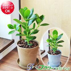 【送料無料】観葉植物 クルシア・ロゼア