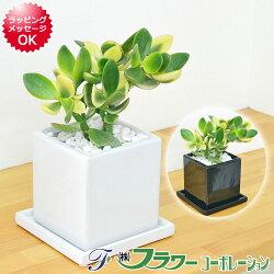【送料無料】観葉植物 金のなる木 陶器鉢