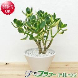 【送料無料】観葉植物 金のなる木 陶器鉢植え