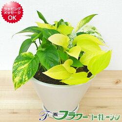 【送料無料】観葉植物 ポトス3種寄せ植え 陶器鉢