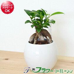 【送料無料】観葉植物 ガジュマル ハイドロカルチャー 水位計付き 陶器鉢