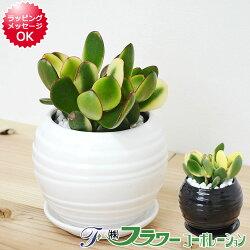 【送料無料】観葉植物 金のなる木 シンシン ボール形陶器鉢植え